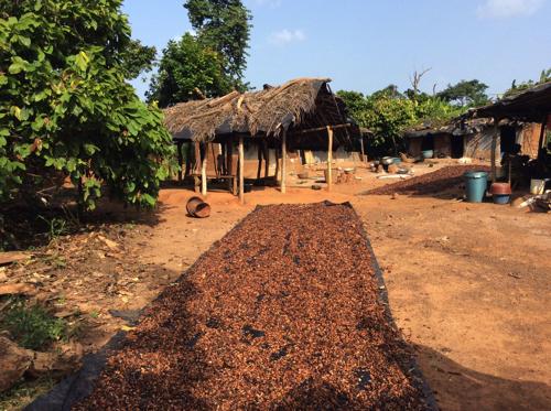 写真2 カヴァリー州調査対象地の村 乾燥中のカカオ豆(2016年11月撮影)