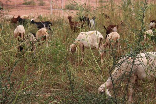 プロジェクト・サイトにおける牧畜民フルベによる家畜の放牧(2016年9月撮影)