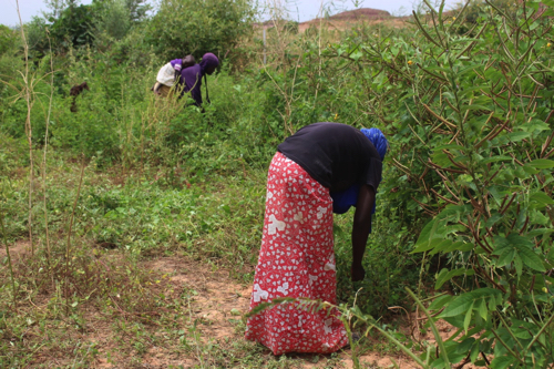 プロジェクト・サイトにおける農耕民ハウサの女性による植物の採集(2016年9月撮影)